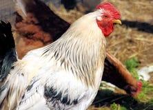 Gallo sull'azienda agricola Fotografia Stock Libera da Diritti