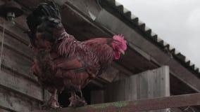 Gallo sull'azienda agricola stock footage