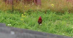 Gallo sull'erba di estate di giorno stock footage
