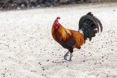 Gallo sulla spiaggia Immagine Stock Libera da Diritti