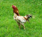 Gallo in Tailandia Fotografia Stock Libera da Diritti