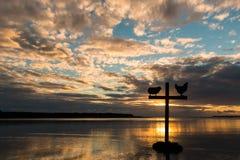 Gallo trasversale delle pecore di tramonto Fotografie Stock Libere da Diritti