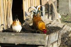 Gallo - un símbolo del Año Nuevo Foto de archivo libre de regalías