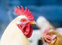 Gallo in una gabbia di pollo Immagini Stock