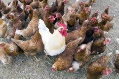 Gallo in una gabbia di pollo Fotografie Stock Libere da Diritti