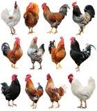 Gallo variopinto del pollo isolato su un fondo bianco Simbolo 2017, secondo il calendario orientale Immagine Stock Libera da Diritti