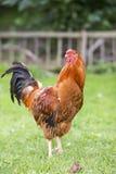 Gallo variopinto in di cortile Fotografia Stock Libera da Diritti