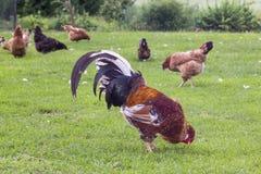 Gallo variopinto e galline in di cortile Immagine Stock Libera da Diritti