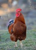 Gallo variopinto o gallo di combattimento in Immagine Stock