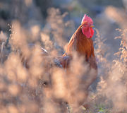 Gallo variopinto o gallo di combattimento in fotografia stock