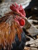 gallo vicino in su Immagini Stock Libere da Diritti