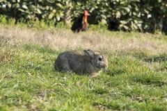 Gallo y conejo Fotografía de archivo