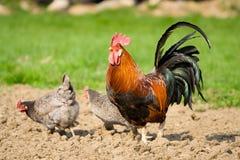 Gallo y dos gallinas fotos de archivo