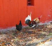 Gallo y gallina Imágenes de archivo libres de regalías