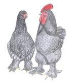 Gallo y gallina, animal del campo, bosquejo Fotografía de archivo libre de regalías