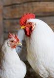 Gallo y gallina blancos Fotos de archivo libres de regalías