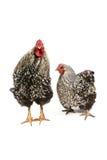 Gallo y gallina de Wyandotte fotos de archivo