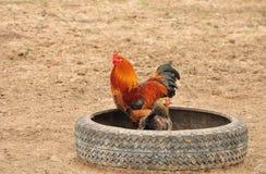 Gallo y gallina Fotografía de archivo
