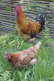 Gallo y gallina en hierba verde imágenes de archivo libres de regalías