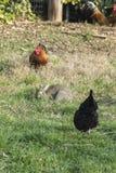 Gallo y gallina en la granja Foto de archivo libre de regalías