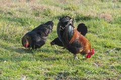 Gallo y gallina en la granja Fotos de archivo