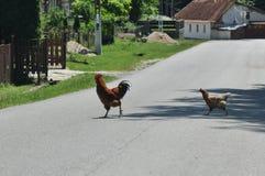 Gallo y gallina que cruzan la calle imagen de archivo libre de regalías
