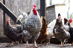 Gallo y gallinas Imágenes de archivo libres de regalías