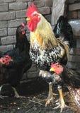 Gallo y gallinas imagen de archivo libre de regalías