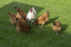 Gallo y gallinas blancos Fotografía de archivo