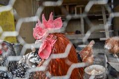 Gallo y gallinas enjaulados en gallinero de pollo Ciérrese para arriba de la cabeza roja del gallo en el corral rural tradicional Imagen de archivo libre de regalías