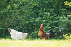 Gallo y pollo foto de archivo