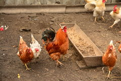 Gallo y pollo Imagen de archivo