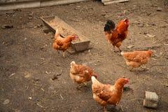 Gallo y pollo Foto de archivo libre de regalías