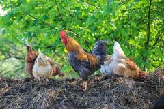 Gallo y pollos fotos de archivo