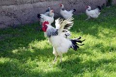 Gallo y pollos imagenes de archivo