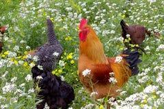 Gallo y pollos en un campo de la primavera Imagen de archivo libre de regalías