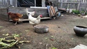 Gallo y pollos que alimentan en corral y paseo Granja de pollo almacen de video