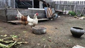 Gallo y pollos que alimentan en corral y paseo Granja de pollo almacen de metraje de vídeo