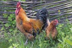 Gallo y su pollo marrón Imagen de archivo libre de regalías