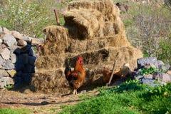 Gallo y sus gallinas fotografía de archivo