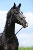 Gallois noir étonnant partie-a multiplié l'étalon photographie stock libre de droits