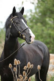 Gallois noir étonnant partie-a multiplié l'étalon avec des fleurs photographie stock libre de droits