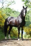 Gallois noir étonnant partie-a multiplié l'étalon avec des fleurs photos stock