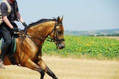 gallop золотистый Стоковое Изображение