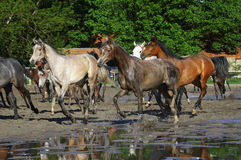 Gallop  Arabian horses. On the pasture Royalty Free Stock Photography
