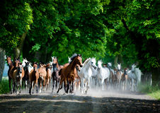 Gallop arabian horses. Gallop of arabian horses on polish farm Stock Image