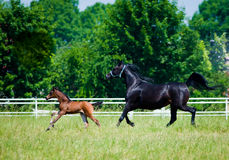 Gallop arabian horses. Gallop two arabian horses mather and beaby Royalty Free Stock Images