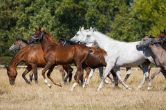 Gallop arabians horses Royalty Free Stock Photo