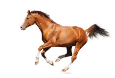Gallop horse Stock Image