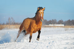 Gallop horse winter Royalty Free Stock Images